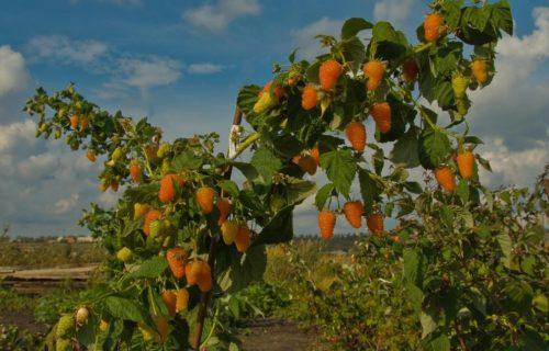Высокие кусты желтоплодной малины сорта Оранжевое чудо