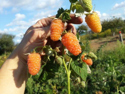 Плоды малины Оранжевое чудо способны долго держаться на ветках