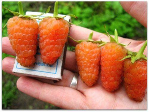 Сравнение размеров оранжевой малины с габаритами спичечного коробка