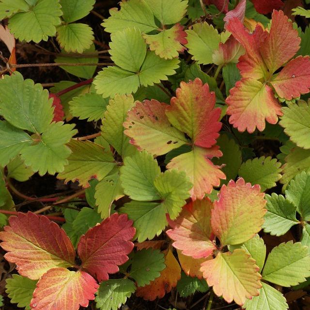 Осенние листья клубники
