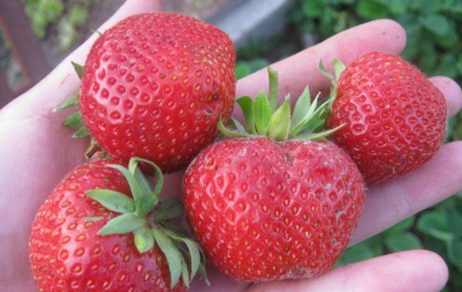 Собранные ягоды клубники сорта пандора