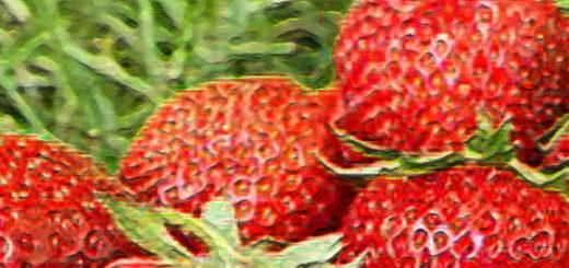 Плоды клубники Пандора вблизи