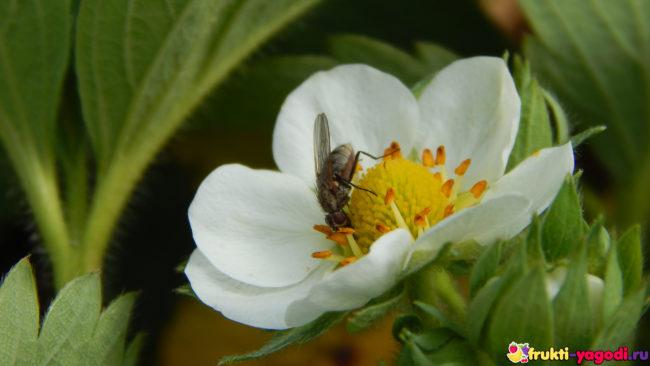 Муха опыляет цветок клбуники