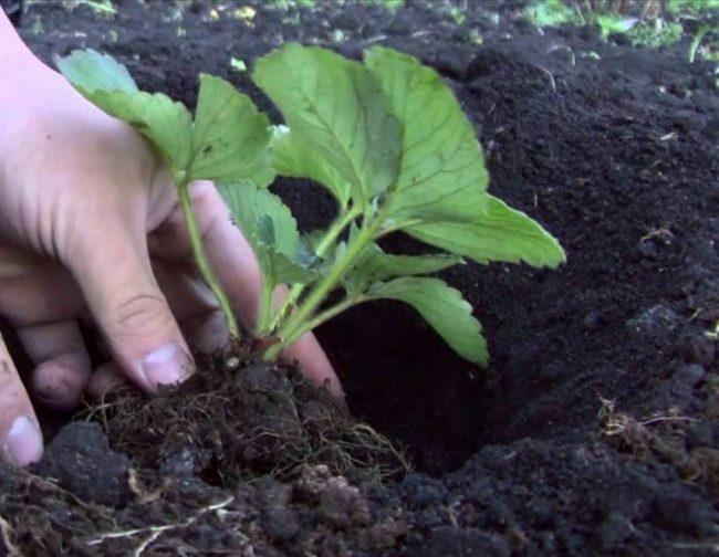 Пересадка клубники в саду