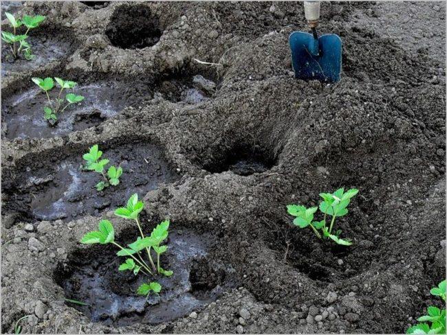 Посадка клубники по лункам