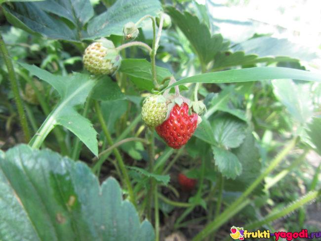 Плоды ремонтантной клубники в августе