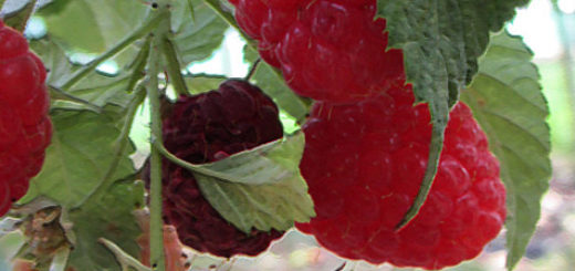 Плоды малины Брусвяна вблизи на кусте