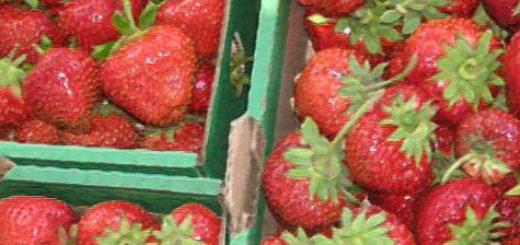 Плоды земляники Цунаки вблизи в ящичках