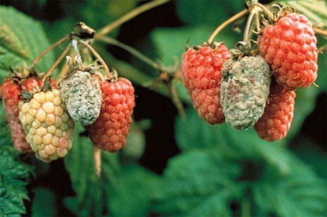 Ягоды малины каскад, пораженные плодовой гнилью