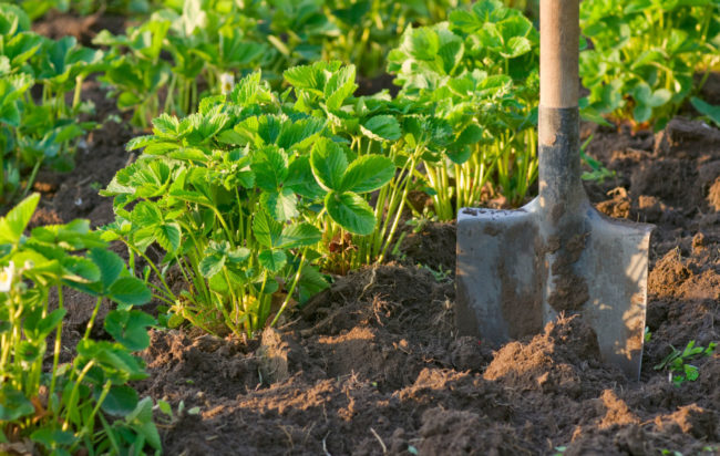 Клубника растущая в саду и лопата