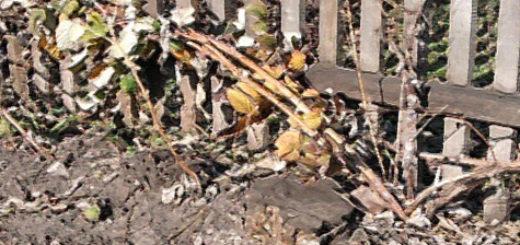 Подготовленная к зимовке малина на огороде