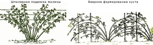 Схема методов подвязки малины Херитейдж: шпалерный и веерный способы