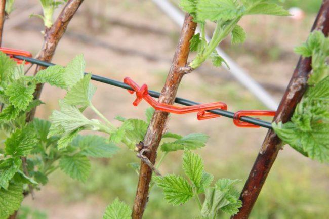 Ветки малины, подвязанные к натянутой между кольями проволоке