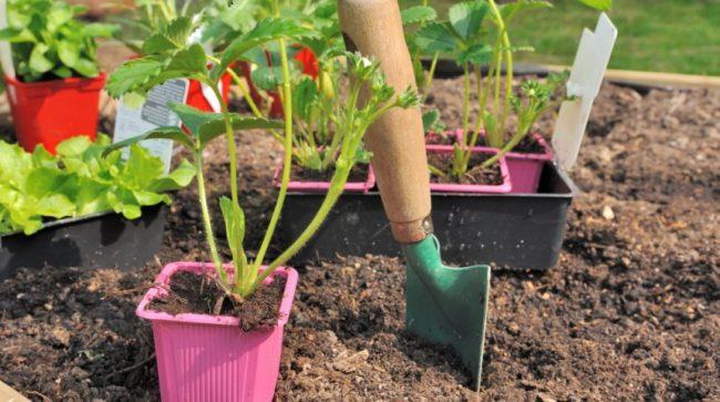 Посадка саженцев клубники в саду