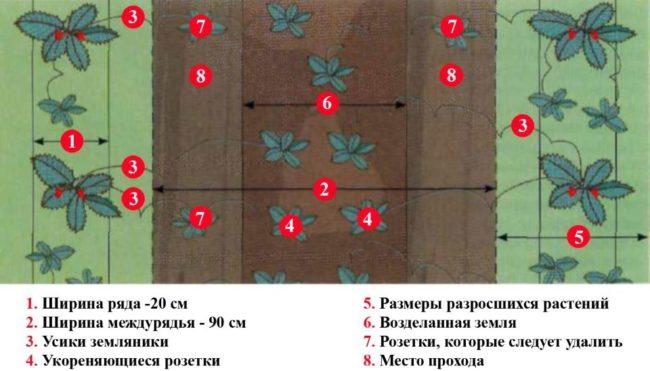 Схема высадки клубники на садовом участке