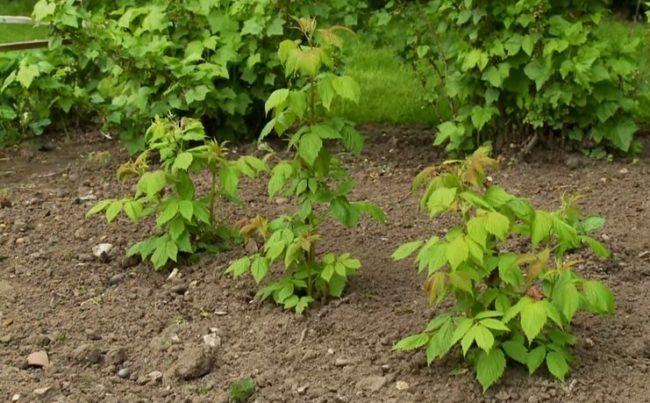 Высаженная малина в саду весной