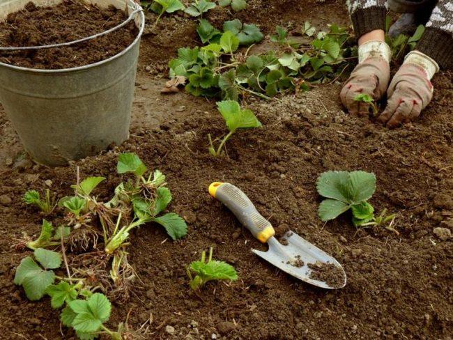 Высадка сеянцев клубники в открытый грунт