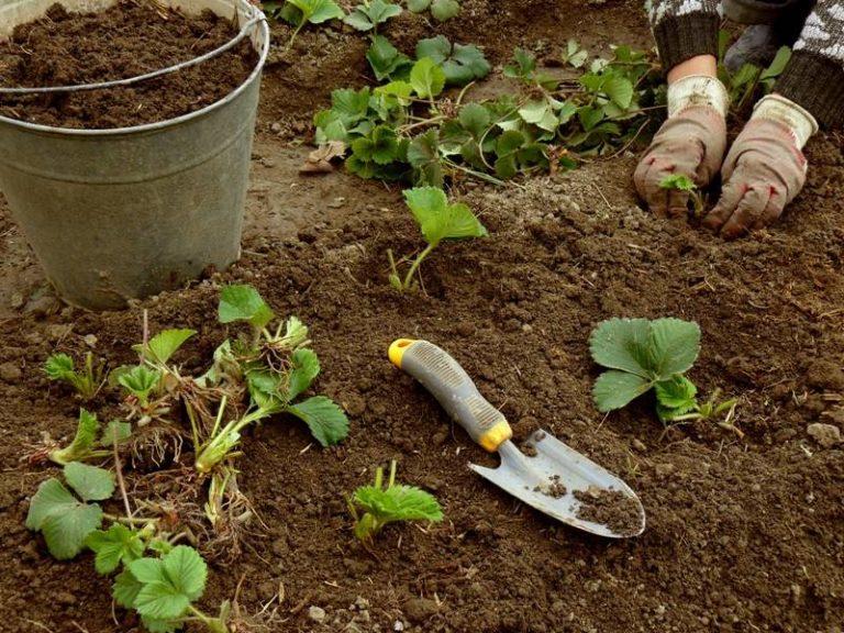 Когда сажать клубнику в открытый грунт осенью 559