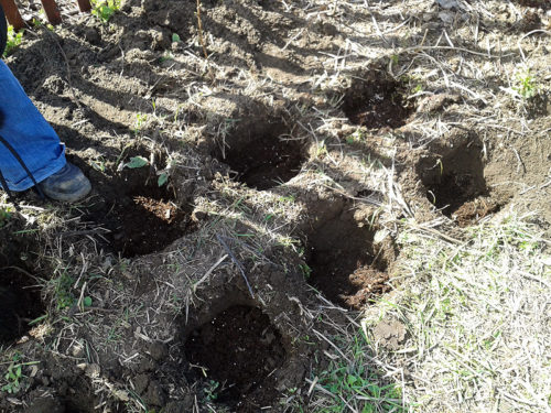 Посадочные ямы для саженцев малины глубиной в штык лопаты