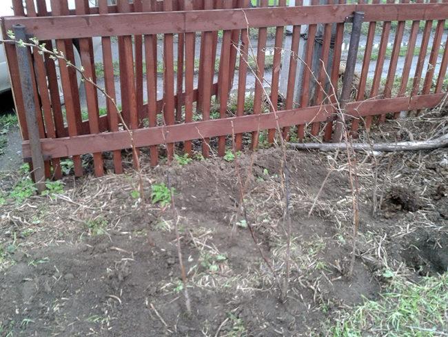 Два ряда высаженных саженцев малины ремонтантной