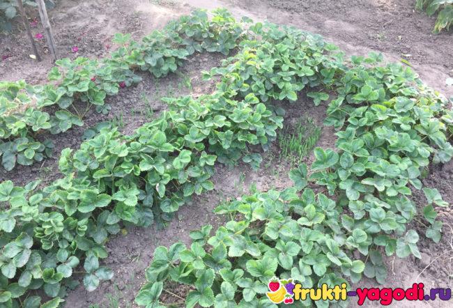 Посев сидератов в междурядье после сбора урожая клубники