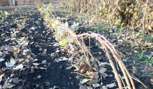 Подготовка малины сорта Гусар к зиме заключается в пригибании веток ближе к поверхности почвы