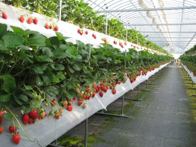 Промышленный вариант теплицы из поликарбоната для выращивания клубники