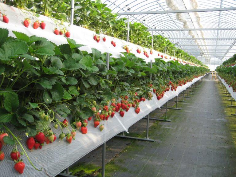 Субстрат для выращивания клубники дома 13