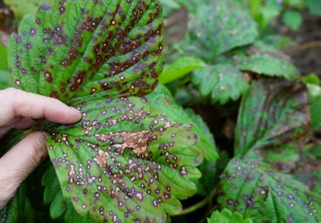 Заболевшие листья клубники