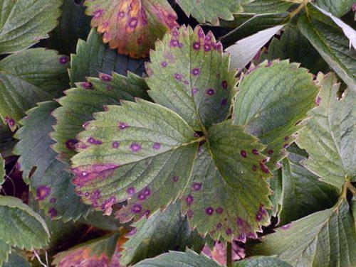 Бурая пятнистость на листьях клубники по краям