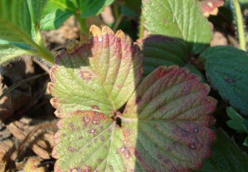 Бурая пятнистость на листьях истощённой клубники