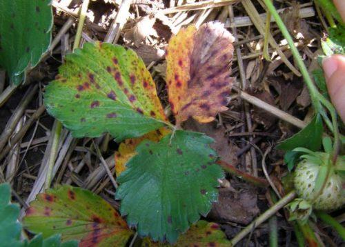 Разрастающаяся бурая пятнистость на листьях клубники