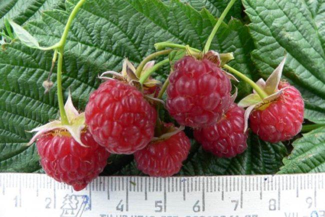 Замер ягод малины сорта столичная