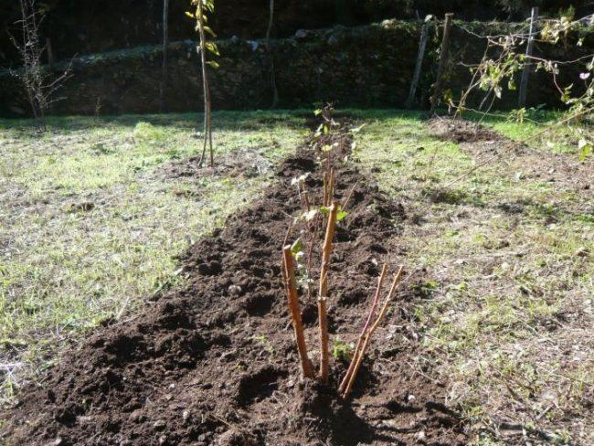 Ряд посаженной малины сорта каскад на садовом участке