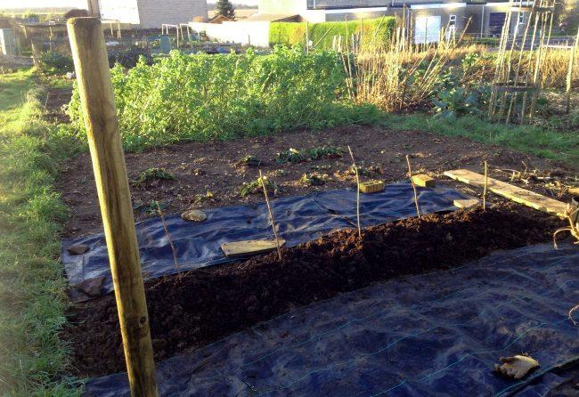 Ряд высаженных саженцев малины и мульчирование почвы нетканым материалом