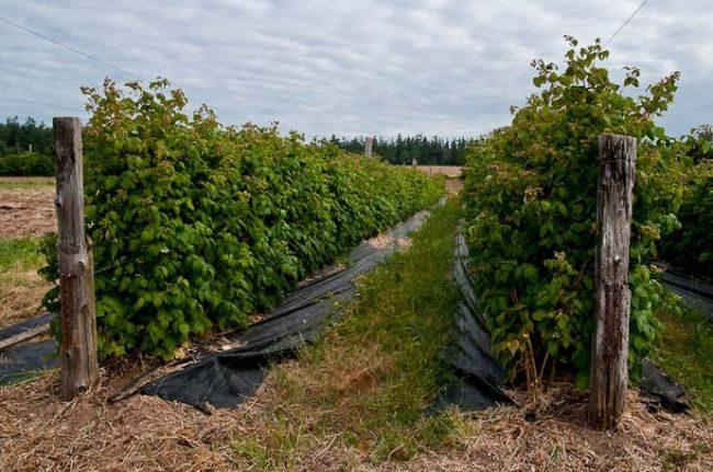 Два ряда малины каскад делайт на шпалерах в поле
