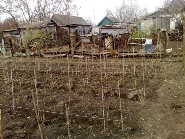Ряды шпалер для подвязки малины на приусадебном участке
