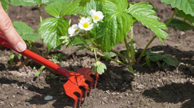 Рыхление клубники в саду