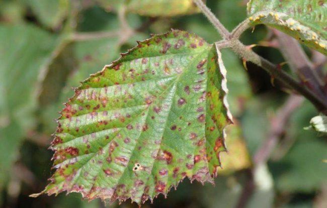 Ржавчинный гриб на зелёном листе клубники
