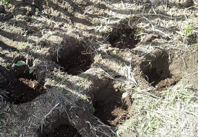 Выкопанные посадочные ямы для саженцев малины