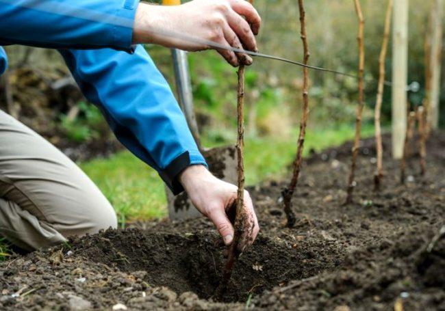 Посадка саженцев малины осенью кустовым способом