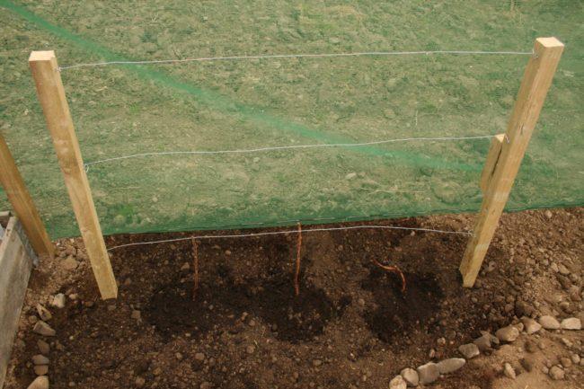 Высадка молодых саженцем малины Таганка по лункам