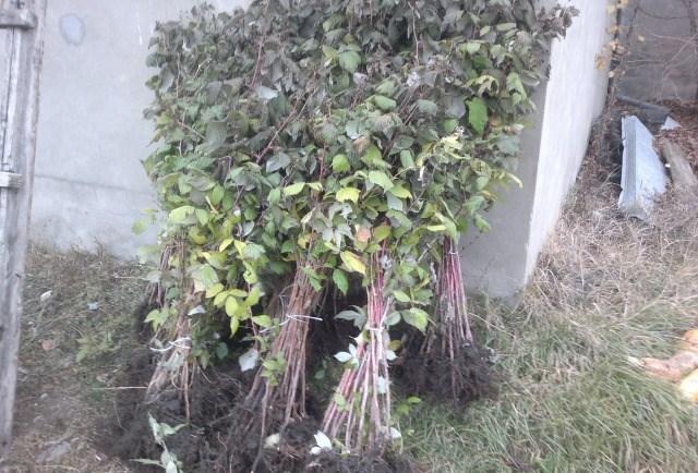 Связки малинных саженцев сорта Геракл с тёмно-зелёными листьями