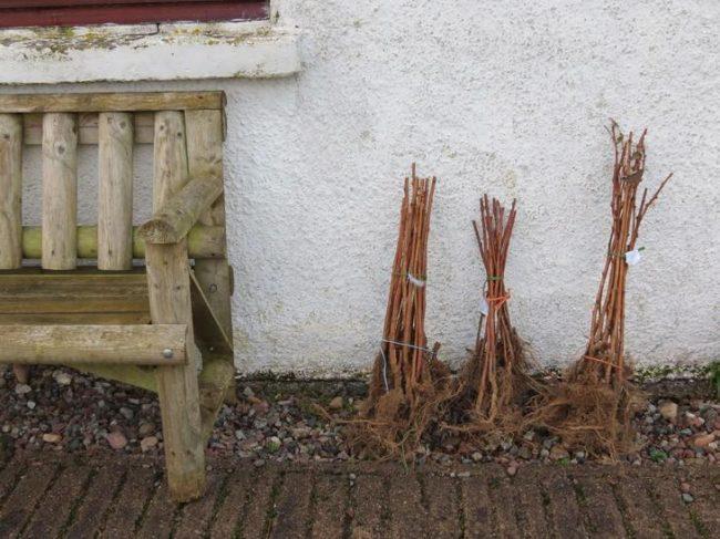 Три пучка саженцев малины, приготовленные для осенней посадки
