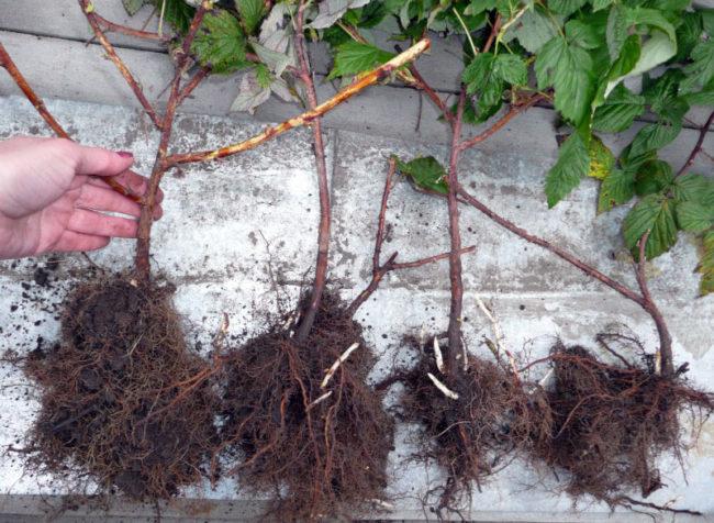 Молодые саженцы малины Гусар с мощными корневищами