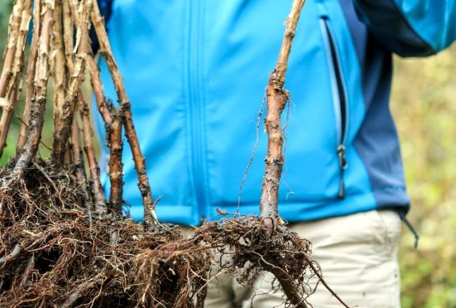 качественные саженцы малины Солнышко с развитой корневой системой