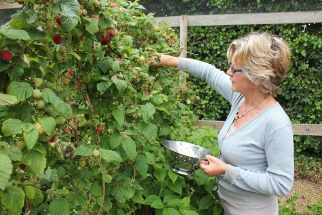 Сбор урожая малины в саду