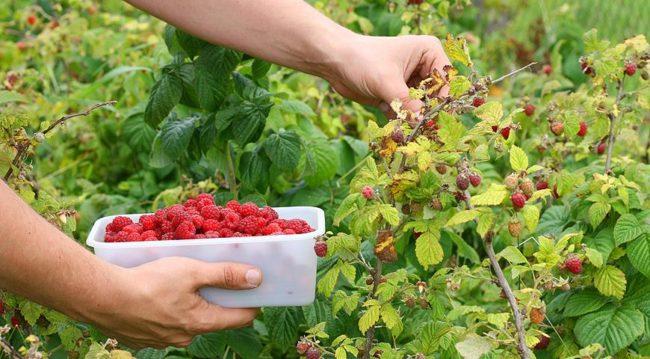 Летний сбор ягод малины сорта Мишутка