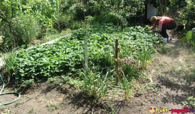 Сбор урожая с небольшой грядки клубники