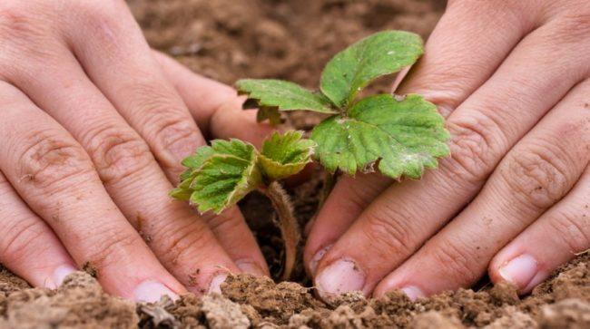 Сеянец клубники и руки садовода